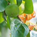 柿の実とオニユリ