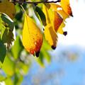 桜葉の黄葉
