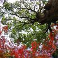 クスノキと紅葉
