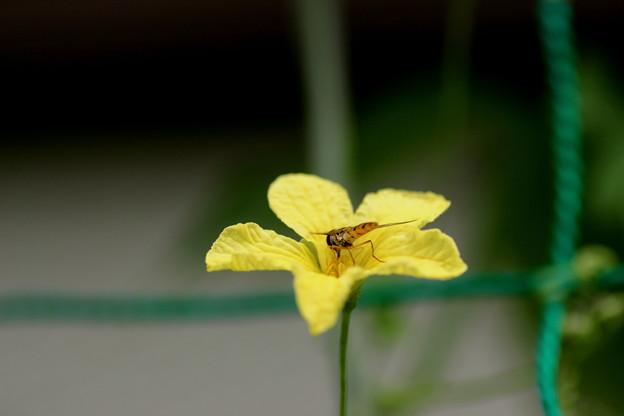 ゴーヤの花に・・・