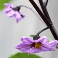 Photos: 茄子の花(1)