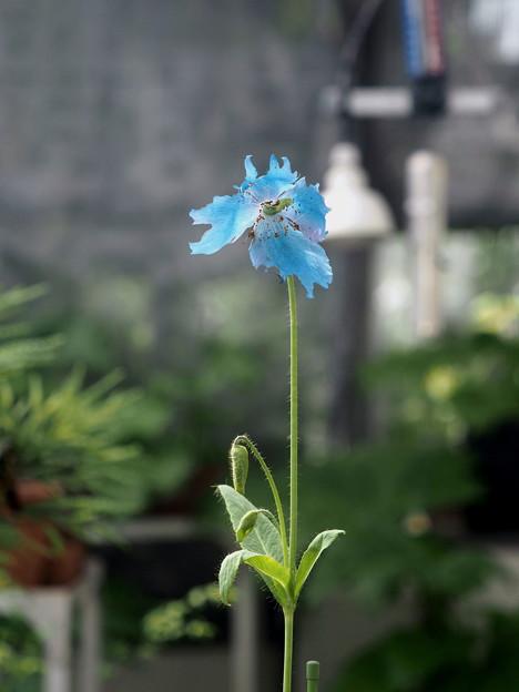 ヒマラヤの青いケシ(3)