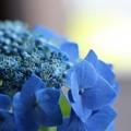 写真: 紫陽花の花(3)