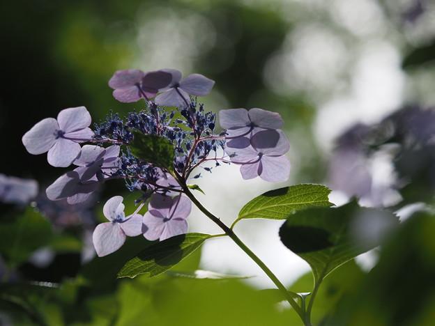 紫陽花4態(1)