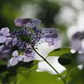 写真: 紫陽花4態(1)