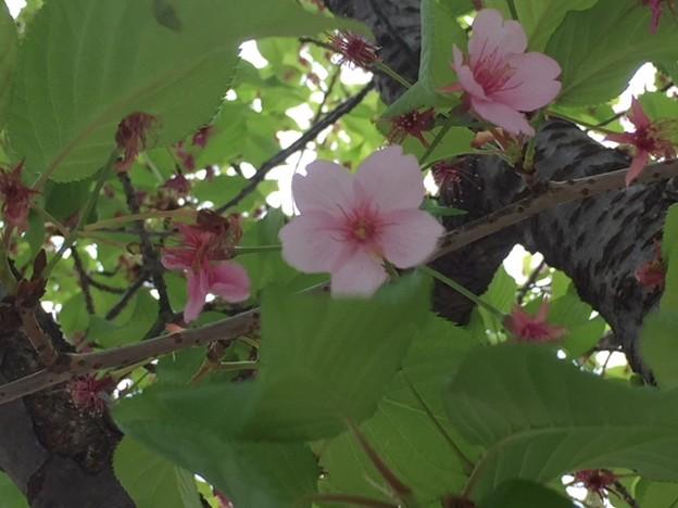 葉桜2018.3.27