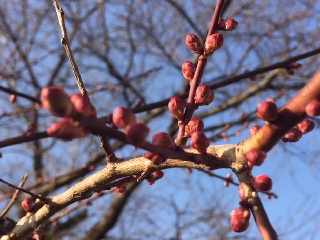 梅の木 in盛岡