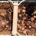 写真: フリージアの球根掘り上げ