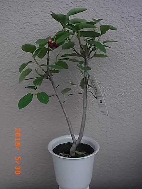 ジューンベリーの苗木