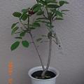写真: ジューンベリーの苗木