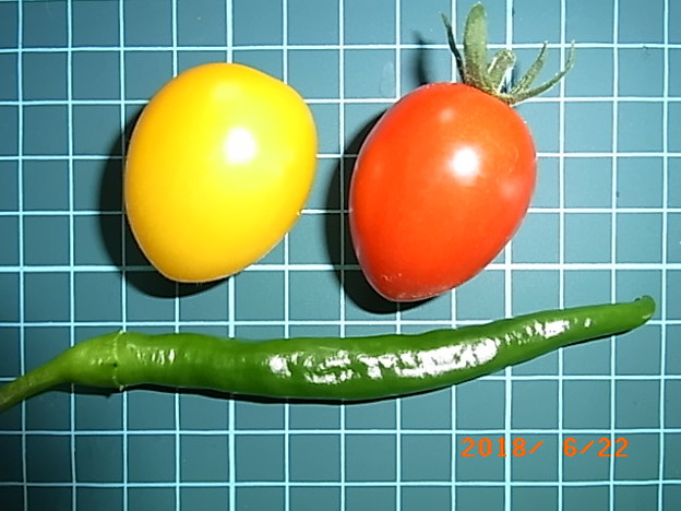 ミニトマト 収穫