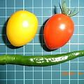 写真: ミニトマト 収穫