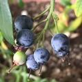 写真: ワイルドブルーベリー 完熟?