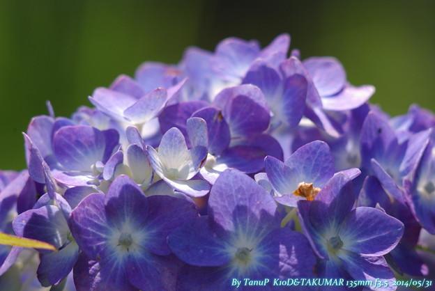 マクロな紫陽花?