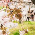 造幣局 桜の通り抜け 2017 (2)
