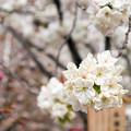 造幣局 桜の通り抜け 2017 (10)
