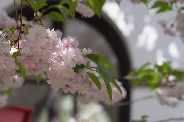造幣局 桜の通り抜け 2018 (14)