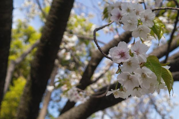 造幣局 桜の通り抜け 2019 (17)