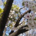 Photos: 造幣局 桜の通り抜け 2019 (17)