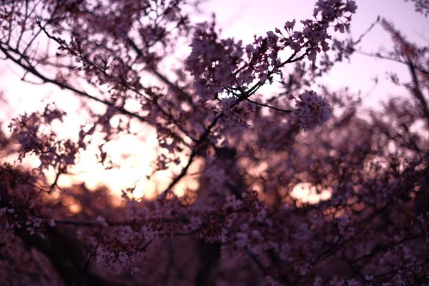 夕陽と散りゆく桜