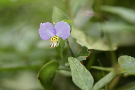 薄紫のツユクサ
