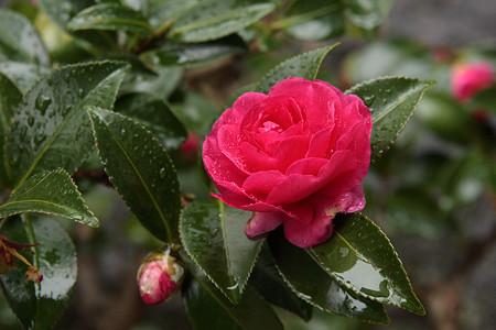 平安神宮の山茶花