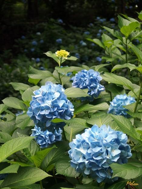 青い紫陽花の森