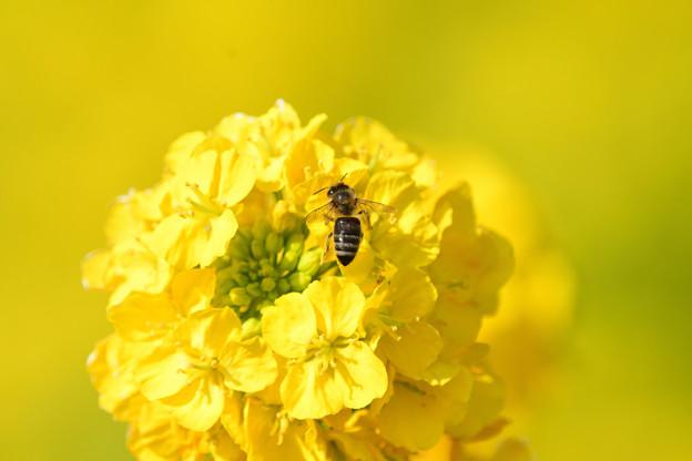 菜の花ミツバチ
