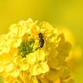 写真: 菜の花ミツバチ