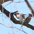 写真: 羽根を広げて
