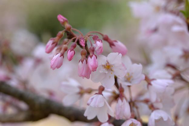 江戸彼岸桜 (3)