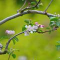 写真: リンゴの花