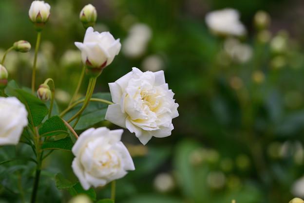 白モッコウバラ