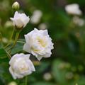 写真: 白モッコウバラ