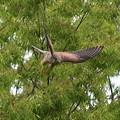 写真: チョウゲンボウ 飛び出し