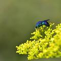 写真: 青い蜂 ~オオセイボウ~