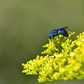 Photos: 青い蜂 ~オオセイボウ~