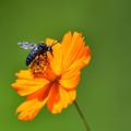 写真: 青い蜂 ~ルリモンハナバチ~