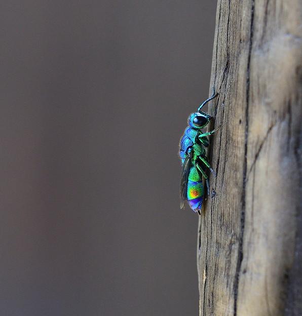 Photos: 青い蜂 ~ミドリセイボウ~