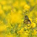 写真: 菜の花カワラヒワ
