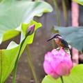 Photos: 蓮とカワセミ
