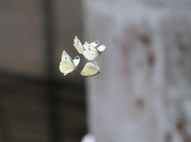 蝶の舞 (2)