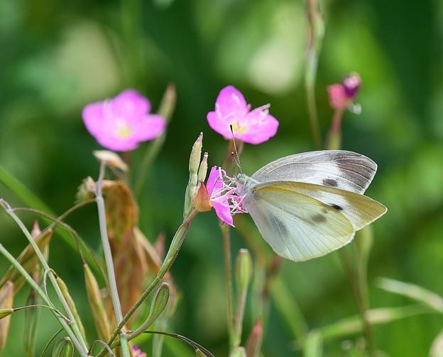 花と蝶 モンシロチョウ