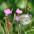 Photos: 花と蝶 モンシロチョウ