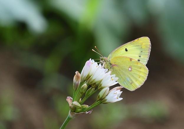 花と蝶 モンキチョウ