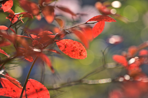 赤く染まる ブルーベリの葉