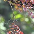 紅葉とイトトンボ