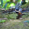 ヤマガラ 水浴び