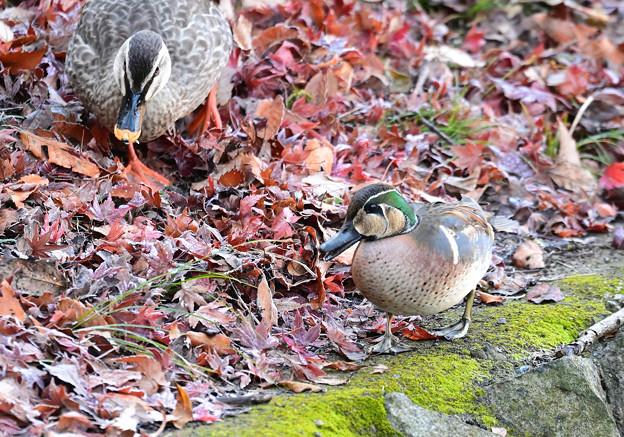落ち葉の中の餌探し