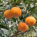 Photos: 柑橘